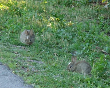 Rabbit babies with full (15x) zoom. They are shy, you have to be really careful to get closer.