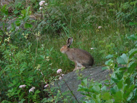 """After many tries, i """"caught"""" the local hare"""