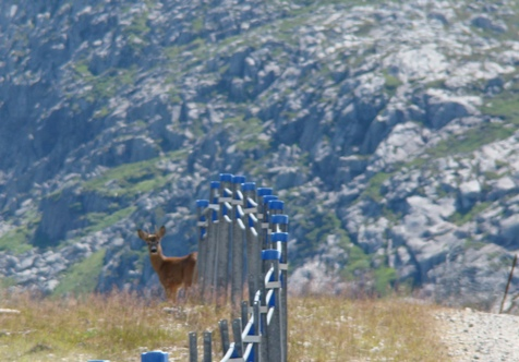 Encounter with a shy deer in the Flørli mountains