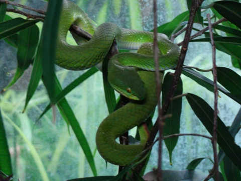 A green snake you wouldn't like to meet in the wild