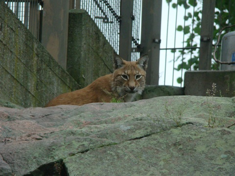 Bored Lynx
