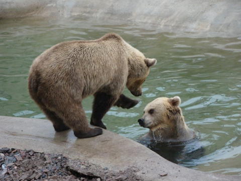 Dry bear wants to tease bear in water...