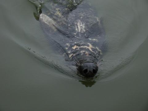 Seals do backstroke too