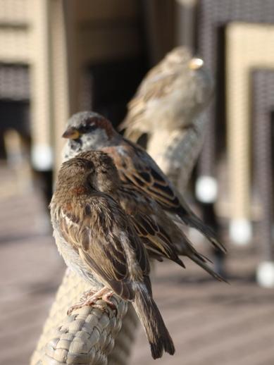 Sparrows having a meeting at Café Carusel